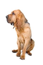 picture of bloodhound  - bloodhound  - JPG