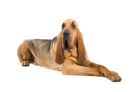 foto of bloodhound  - bloodhound  - JPG
