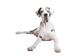 foto of great dane  - front view of a great dane dog isolated on a white background - JPG