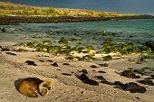 stock photo of sea lion  - Cute sea lions sleeping in La Loberia beach in San Cristobal - JPG