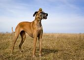 picture of great dane  - Silly great Dane with yellow ball on top of head  with blue sky - JPG