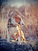 picture of bulls  - Red dog of breed a bull terrier in a scarf sits on a stone - JPG