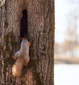 foto of hollow  - Red squirrel peers into the hollow of a tree trunk - JPG