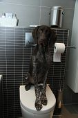 picture of toilet  - Young German shorthaired pointer on a toilet seat getting some potty training - JPG