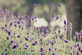 stock photo of lavender field  - Closeup of purple lavender flowers in the field
