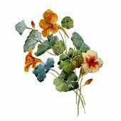 picture of nasturtium  - Beautiful vector illustration with nice watercolor nasturtium - JPG