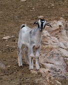 image of goat horns  - Young Majorera goat  - JPG