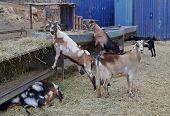 ������, ������: Majorera goats native to Fuerteventura