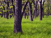 foto of pecan tree  - A wooded grove of pecan trees in central Texas - JPG