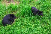 foto of bear  - Asiatic black bear Tibetan black bear Ursus thibetanus large tropical asian bear with black fur and white V shape fur on the bust - JPG