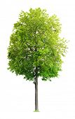 foto of linden-tree  - Linden Tree isolated on a white background - JPG