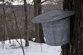 pic of maple syrup  - Buckets hanging on trees collecting sap for maple syrup - JPG