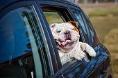 stock photo of car ride  - english bulldog breed dog in a car window - JPG