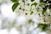 stock photo of apple blossom  - Lovely apple blossom in natural light and blury background - JPG