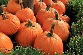stock photo of mums  - Peaceful scene of gorgeous pumpkins nestled in bed of budding Hardy Mums. ** Note: Soft Focus at 100%, best at smaller sizes - JPG