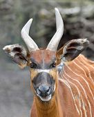 image of bongo  - Closeup portrait of the Bongo in its habitat - JPG