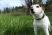 picture of jack russell terrier  - A Jack Russell Terrier looking into the open space of the photo - JPG