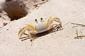 Tropical Crab