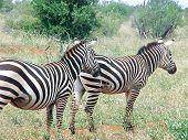 Close Up Two Zebra