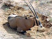 Kudu Resting