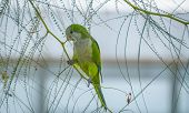 pic of parakeet  - One of many Monk Parakeets inhabiting the local areas along the coast of Spain - JPG