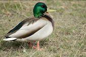 Mallard, Or Wild Duck (anas Platyrhynchos