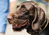 German Wirehaired Pointer Dog Portrait