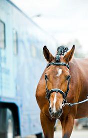 pic of big horse  - Dressage stallion on championship with big horse transport behind him - JPG