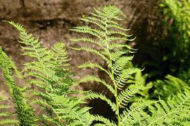 picture of fern  - Ferns growing in the woods Teplicke Mountains - JPG