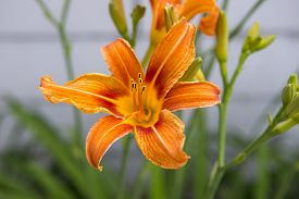 picture of asiatic lily  - Dwarf Asiatic Lily Hybrid  - JPG