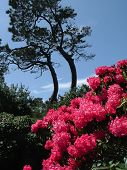 stock photo of mendocino  - Rhododendrons in full bloom at the Mendocino Coast Botanical Gardens on the rugged northern California shoreline.