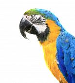 Blue-and-yellow Macaw - Ara ararauna of a white background