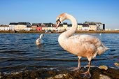 picture of claddagh  - Swans on the bank of Corrib river in Claddah Galway - JPG