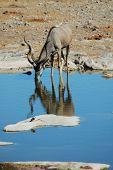 Kudu In Etosha #2