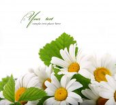 stock photo of easter flowers  - Daisy flowers in white background  - JPG