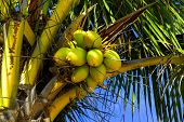 Fresh coconuts hanging of palm trees in a tropical island