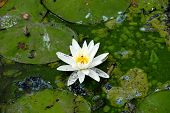 stock photo of sand lilies  - White lily on a pond with lots of pollution - JPG