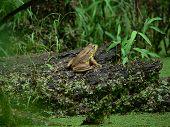 Green Frog 002