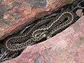 Reptiles  Garter Snake 001 Laying Between Rocks