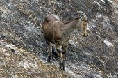 Endangered Niligiri Tahr at Kerala India