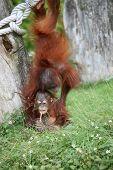 Dois bebê orangotango orangotangos