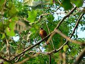 Birds  Robin 003