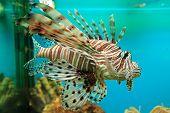 Rot-Feuerfische (Pterois Volitans)