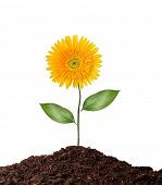 single flower isolated on white- clipping path -flower-