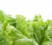 lettuce leafs isolated on white
