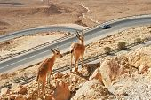 Two ibexes stand on the cliff above the higway at Ramon Crater (Makhtesh Ramon) in Negev Desert in Israel.