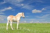 cute beautiful haflinger filly in a green meadow with blue sky background