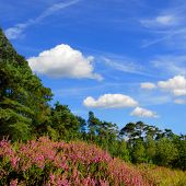 purple heather landscape in a forest environment with blue sky and fluffy clouds on a square background poster
