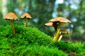 image of hallucinogens  - group of magic mushrooms on moss in scenic forest background - JPG