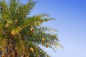 palmera con nidos de pájaros tejedores de baya en india